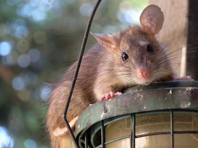 ¡Socorro, tengo una rata en casa!