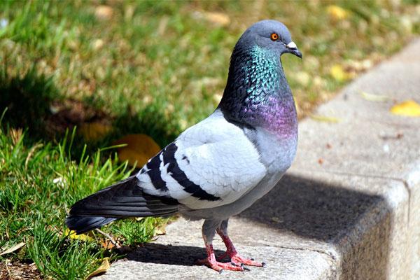 control ético de palomas