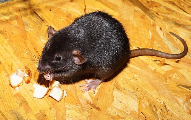 ¿Las ratas son una plaga del siglo XIX?