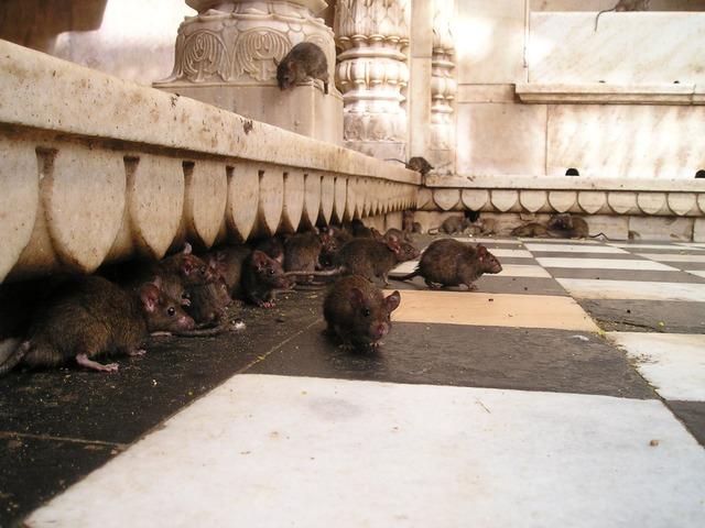 Las ratas, la invasión del siglo XXI
