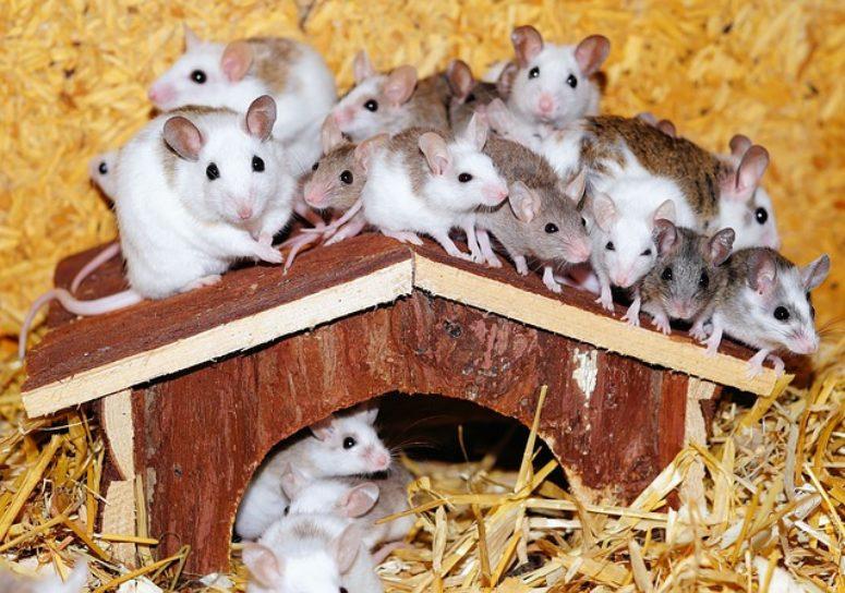 como se reproducen los ratones