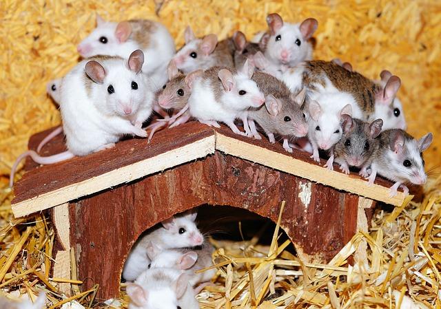 Cómo se reproducen los ratones y cómo eliminarlos