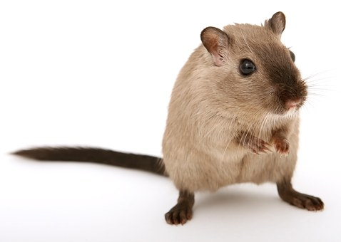 ¿Dónde se esconden las ratas?