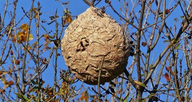 nidos de avispa asiática Sitehisa