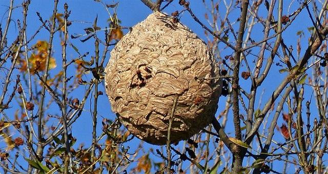 Cómo eliminar un nido de avispa asiática
