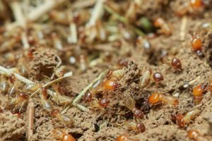 Las termitas Sitehisa