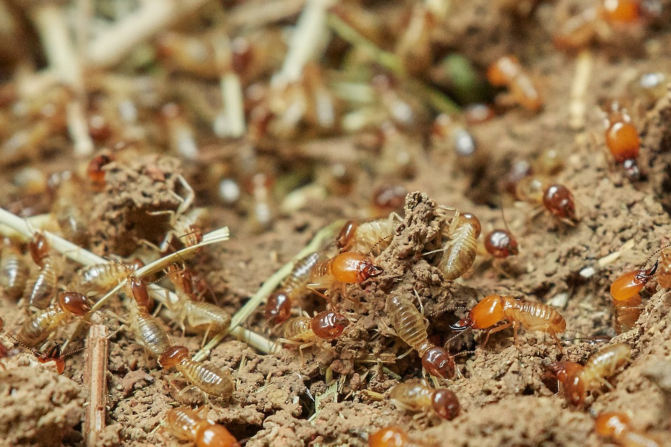 Dónde nacen las termitas