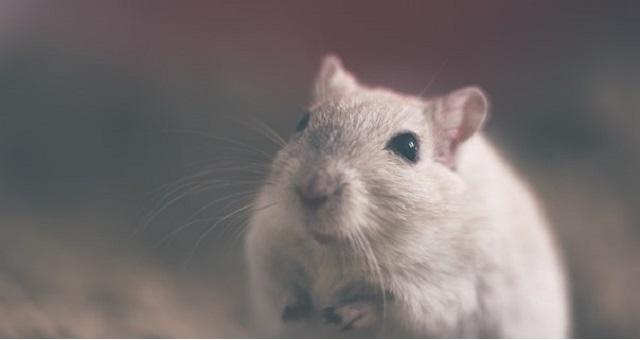 Cómo ahuyentar los ratones de casa