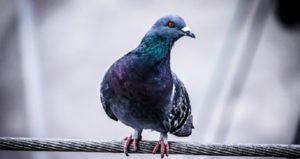 acabar con las palomas