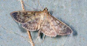 Polilla voladora Sitehisa