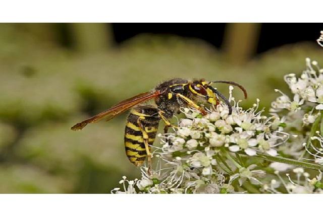 ¿La avispa asiática devora abejas?