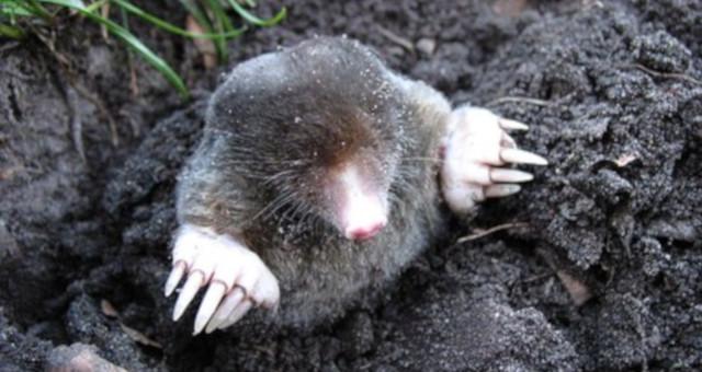 ¿Cómo llegan los topos a nuestro jardín?