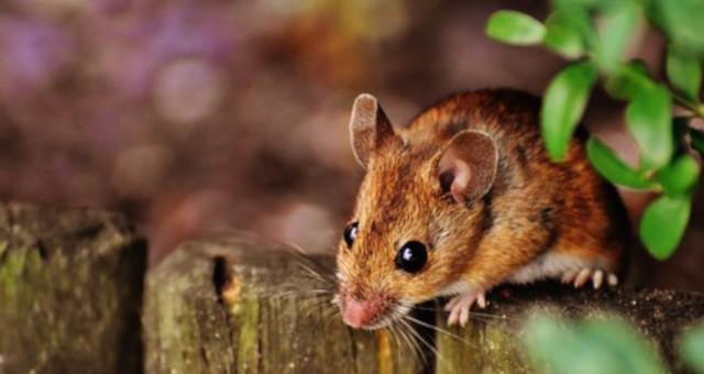 Cómo se reproducen los ratones