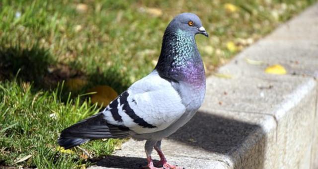 Peligros de las plagas de palomas