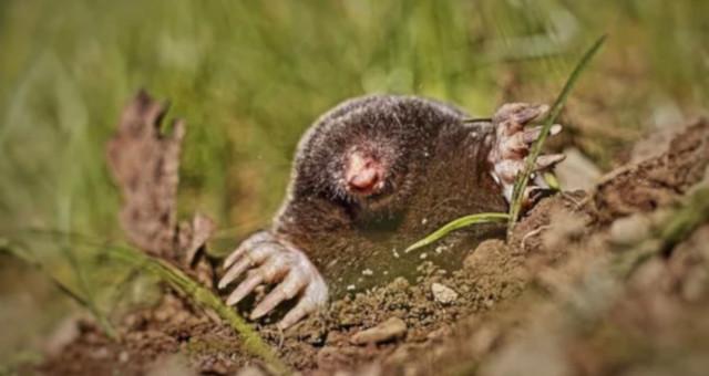 ¿Cuánto vive un topo y de qué se alimenta?