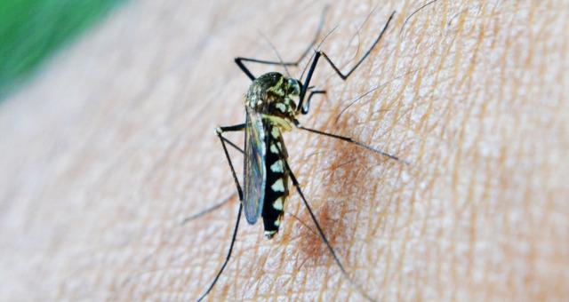 ¿Cómo es el mosquito tigre?