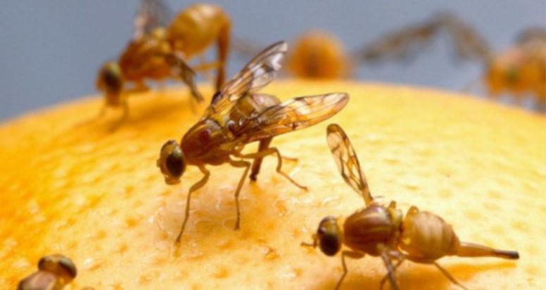 mosca de la fruta sitehisa