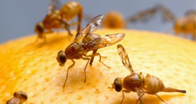 ¿Qué son las moscas de la fruta?