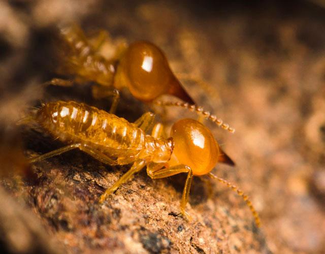 termitas2-1