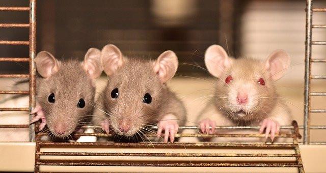 Plaga de ratas, cómo eliminarlas