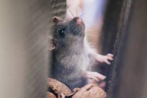 ¿Qué hago si tengo una plaga de ratones en mi local?