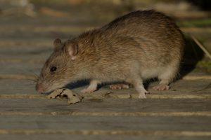 quiero-eliminar-ratas