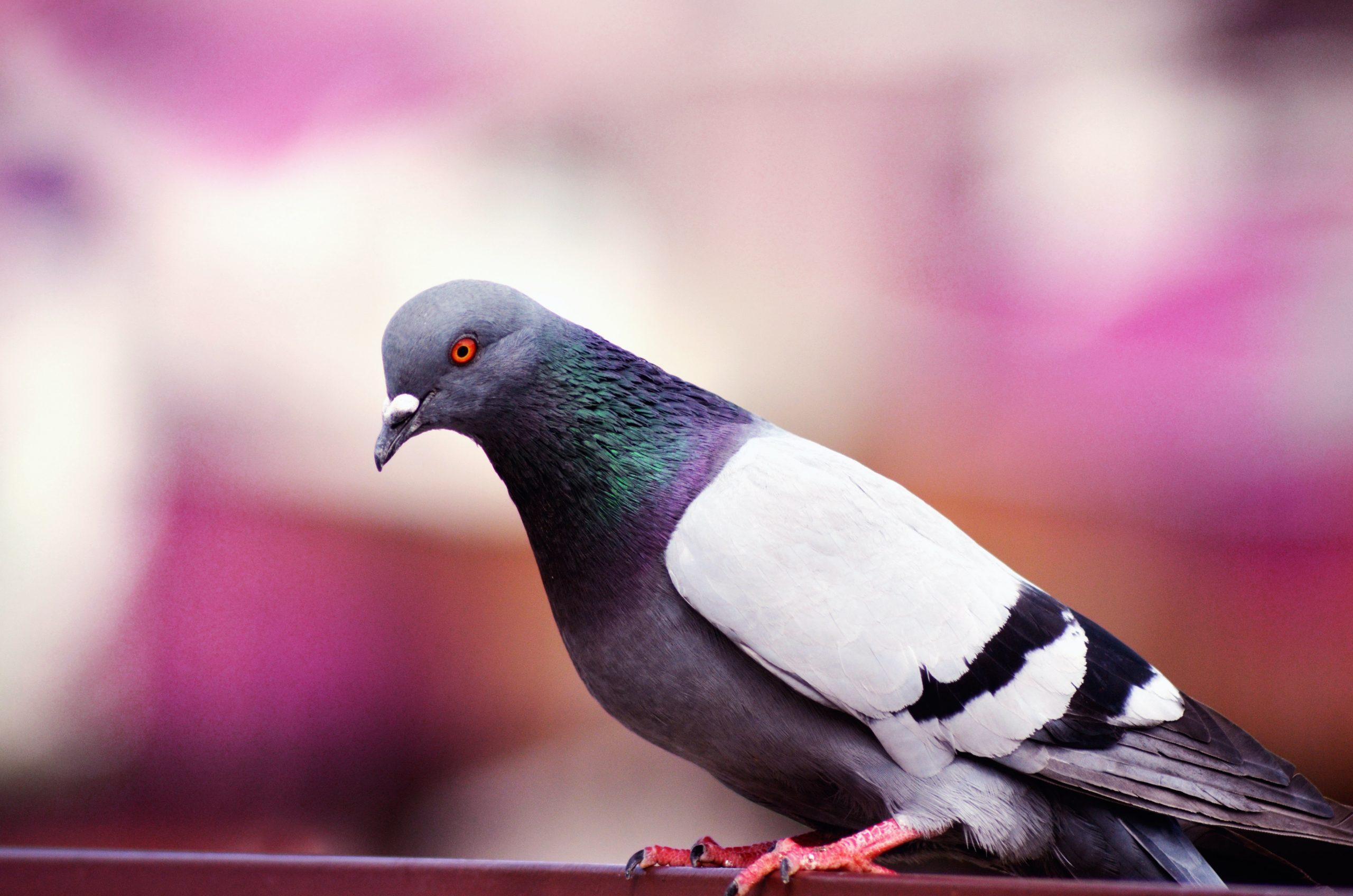 El comportamiento de las palomas, ¿son agresivas?