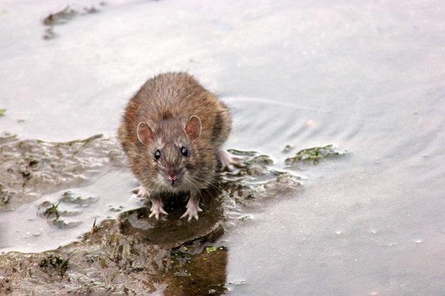 Ratas o ratones. ¿Cómo podemos distinguirlos?
