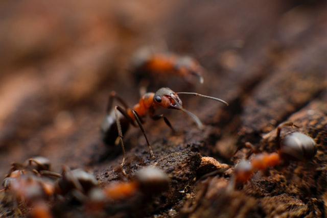 La hormiga reina. Caraterísticas, aspecto y función