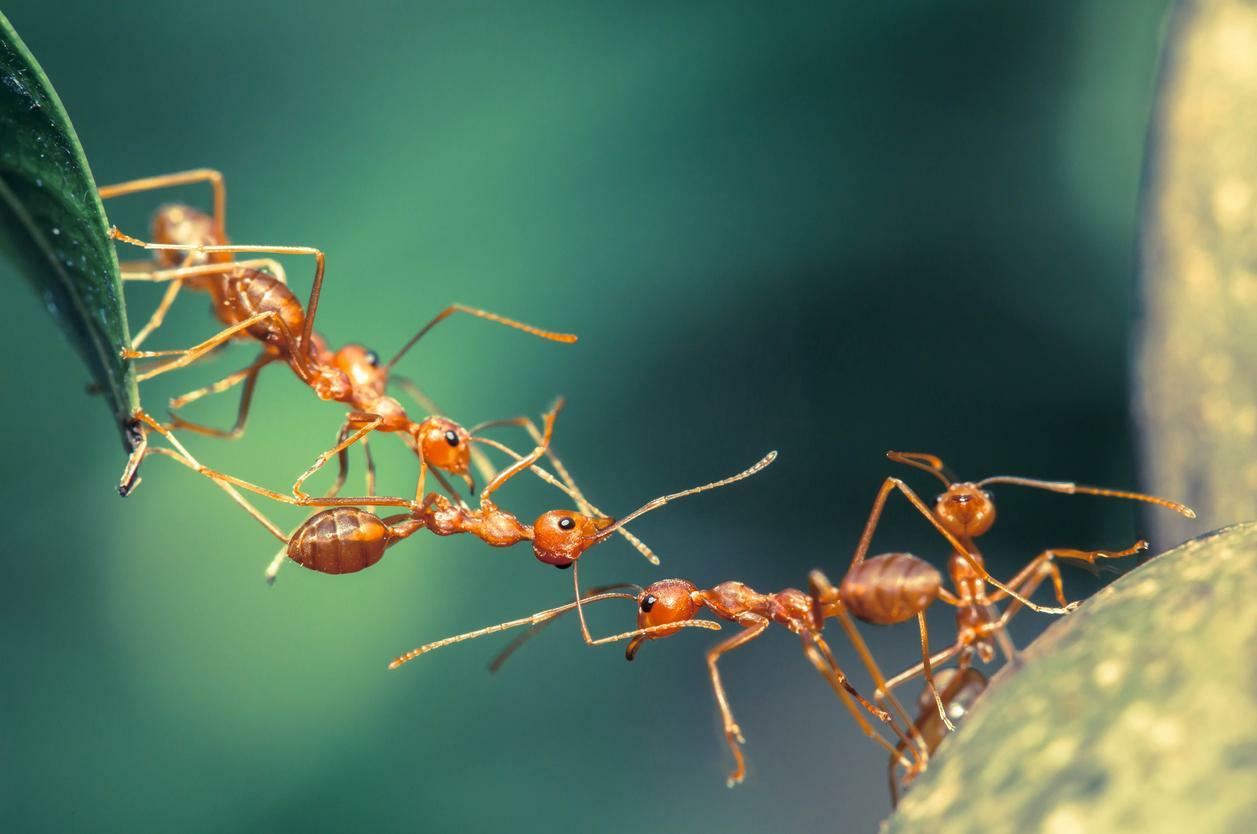 Las hormigas y sus curiosidades