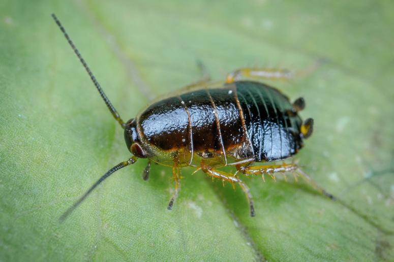 ¿Son eficaces las trampas para cucarachas?