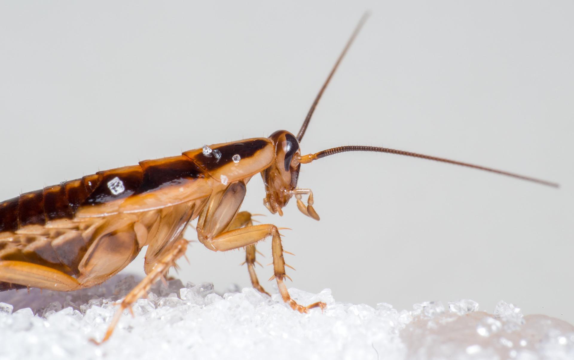 El hábitat de la cucaracha alemana.